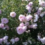 Ruusumäen vaaleanpunaisia ruusuja