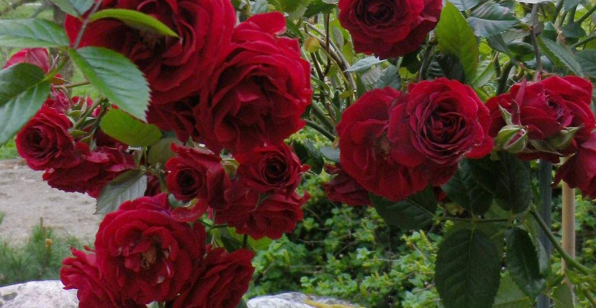 Ruusupuisto